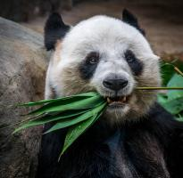 Giant Panda chewing on bamboo stalk.