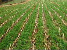 Cover crop on Ohio farm