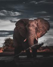 Elephant tossing water with its trunk.