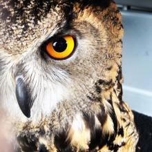 Enzo the Eurasian Eagle Owl staring