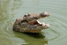 Nile Crocodile with jaw open.