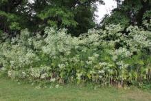 Poison hemlock in field