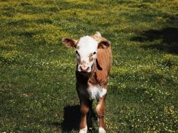 Photo of a brown cow with a white face and feet