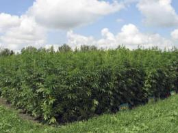 Photo of mature hemp plants in a field