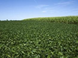 Photo of a green soybean field growing next to a field of corn